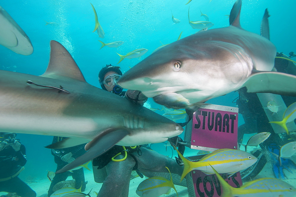 Shark feeding at Stuart Cove, Bahamas, West Indies, Central America - 934-718