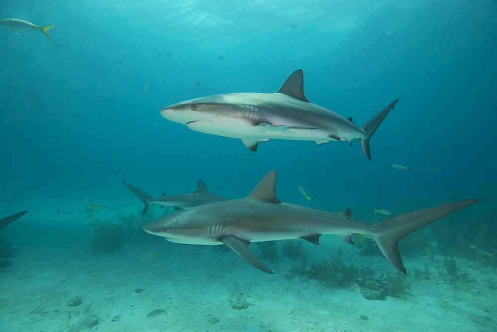 Reef sharks, Bahamas, West Indies, Central America - 934-721