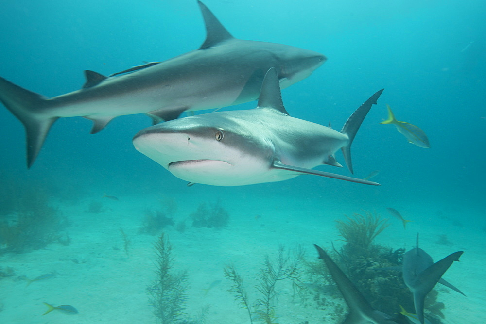 Reef sharks, Bahamas, West Indies, Central America - 934-722