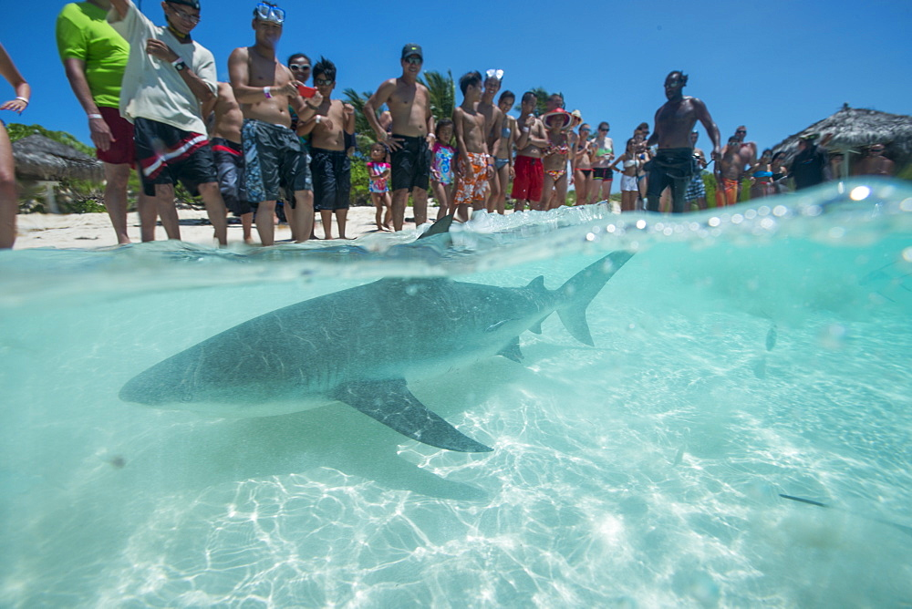 Shark feeding off the beach in the Bahamas, West Indies, Central America - 934-724