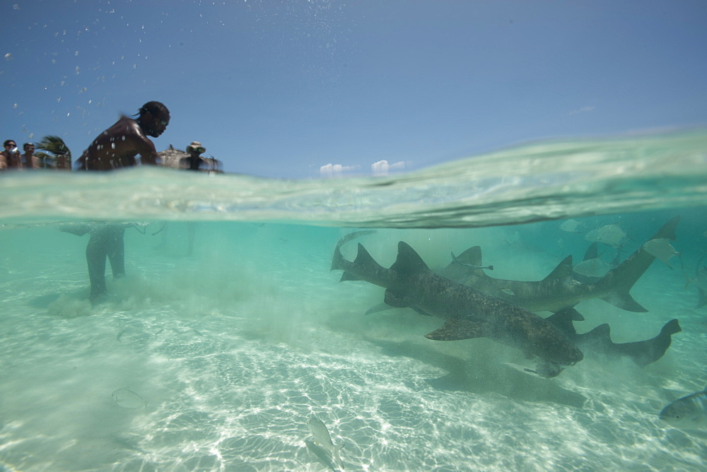 Shark feeding off the beach in the Bahamas, West Indies, Central America - 934-725