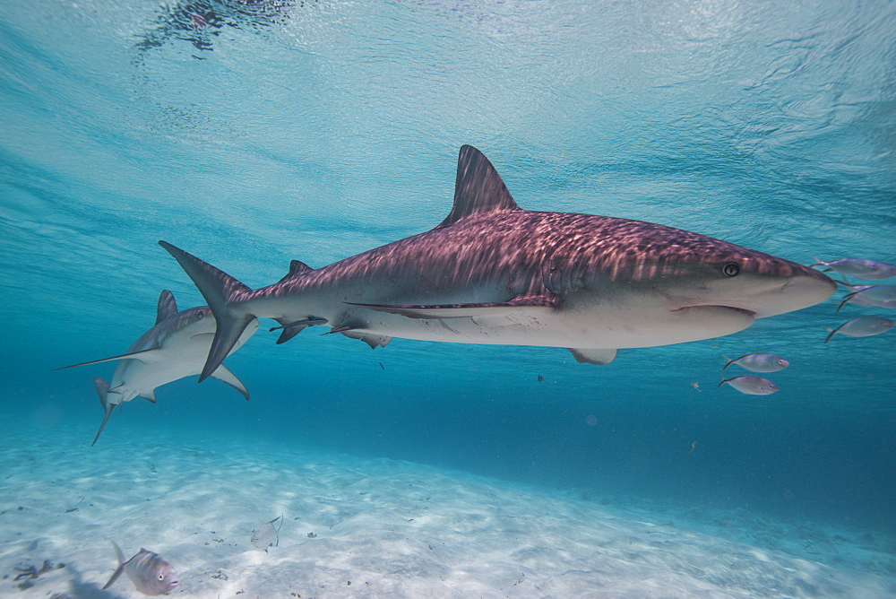 Lemon shark in the shallow waters in the Bahamas, West Indies, Central America
