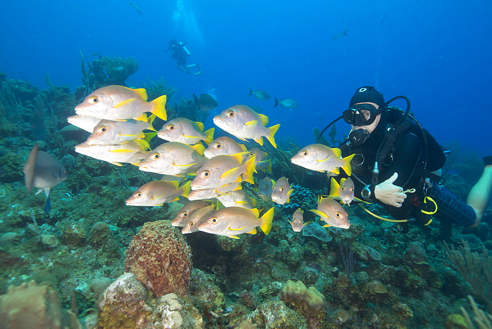 Diver watching schooling snapper fish in Turks and Caicos Islands, West Indies, Central America - 934-734