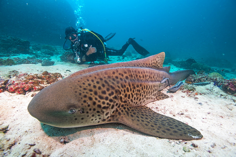 Leopard shark, Dimaniyat Islands, Gulf of Oman, Oman, Middle East - 934-744