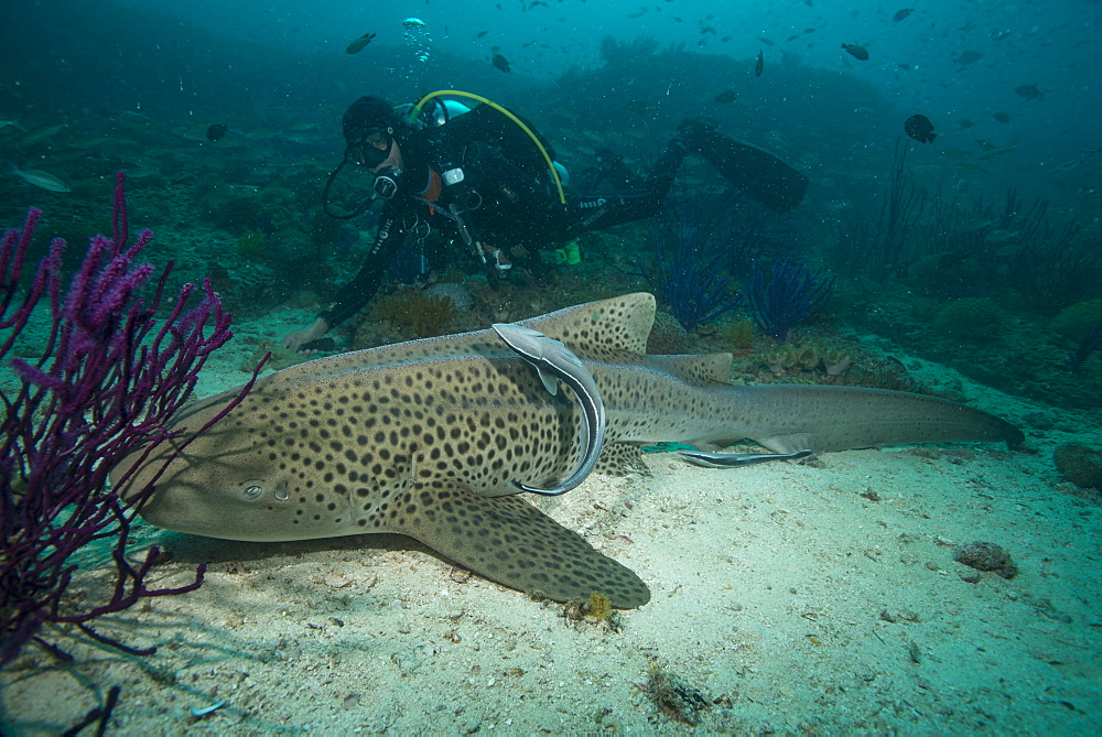 Leopard shark, Dimaniyat Islands, Gulf of Oman, Oman, Middle East - 934-745