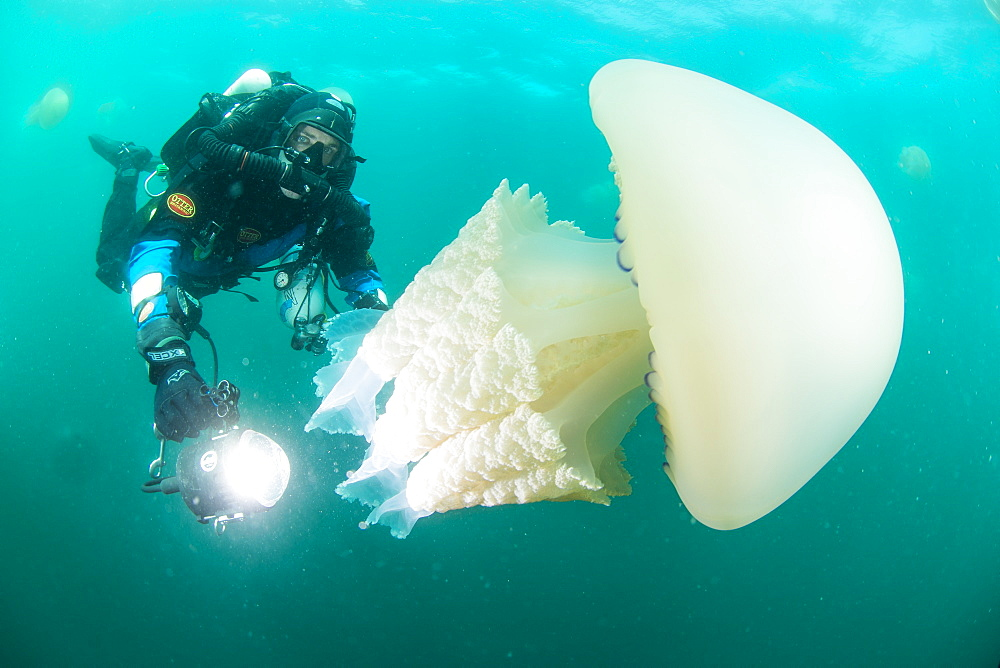Diver with giant barrel jellyfish off the South Coast, Devon, England, United Kingdom, Europe - 934-758