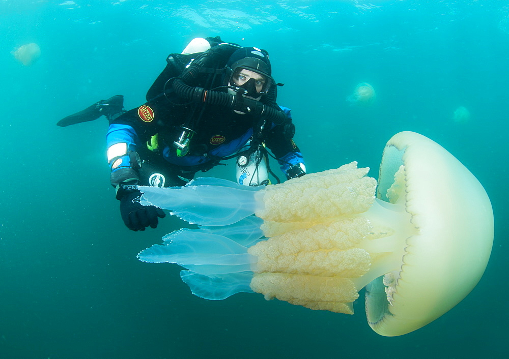 Diver with giant barrel jellyfish off the South Coast, Devon, England, United Kingdom, Europe