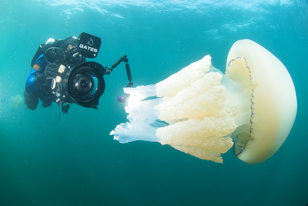 Diver with giant barrel jellyfish off the South Coast, Devon, England, United Kingdom, Europe - 934-761