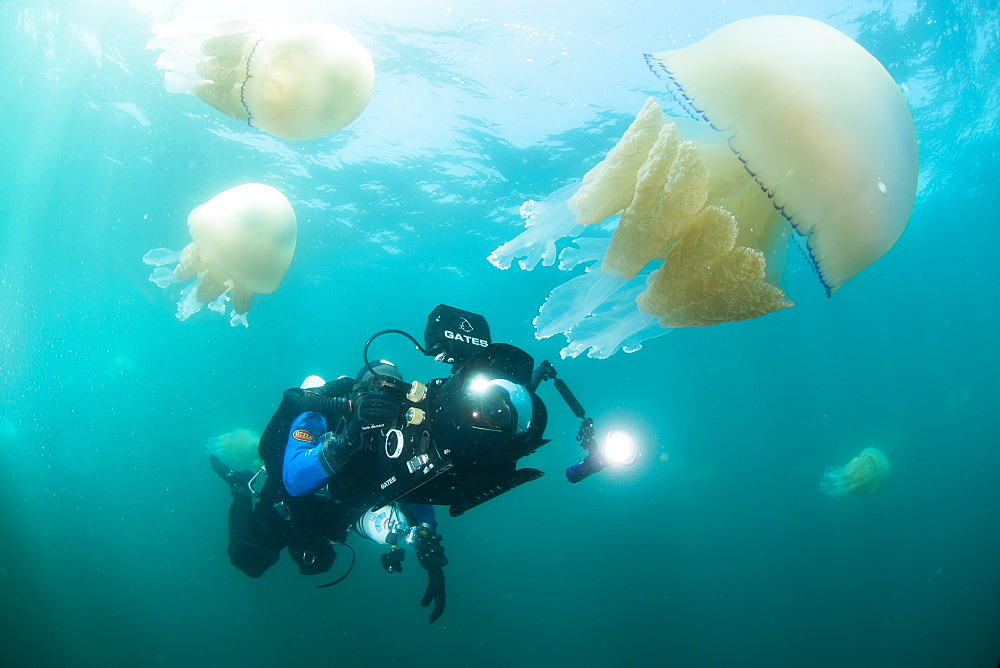 Diver with giant barrel jellyfish off the South Coast, Devon, England, United Kingdom, Europe - 934-762