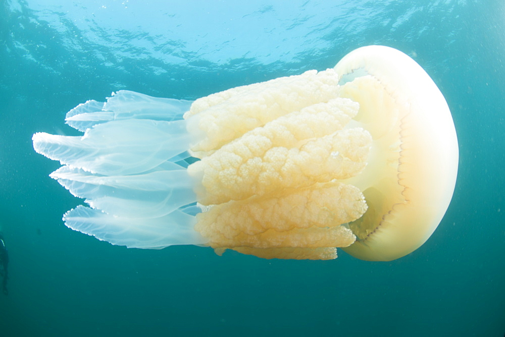 Barrel jelly fish (Rhizostoma pulmo) in United Kingdom waters, Devon, England, United Kingdom, Europe - 934-766