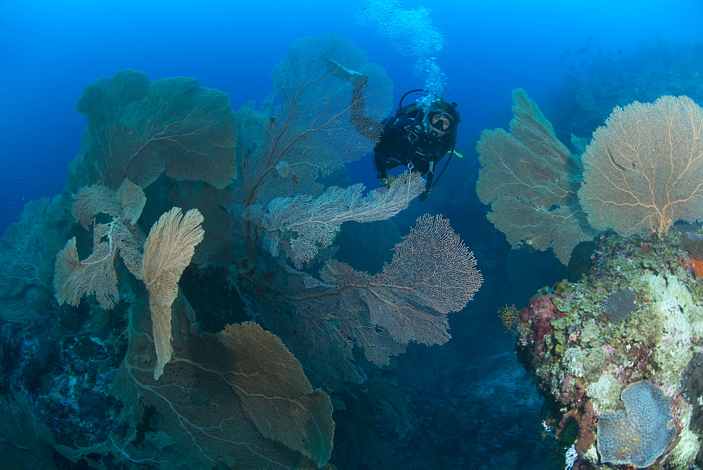 Gogonian diving on Atam Reef, Nosy Be, Madagascar, Indian Ocean, Africa - 934-768