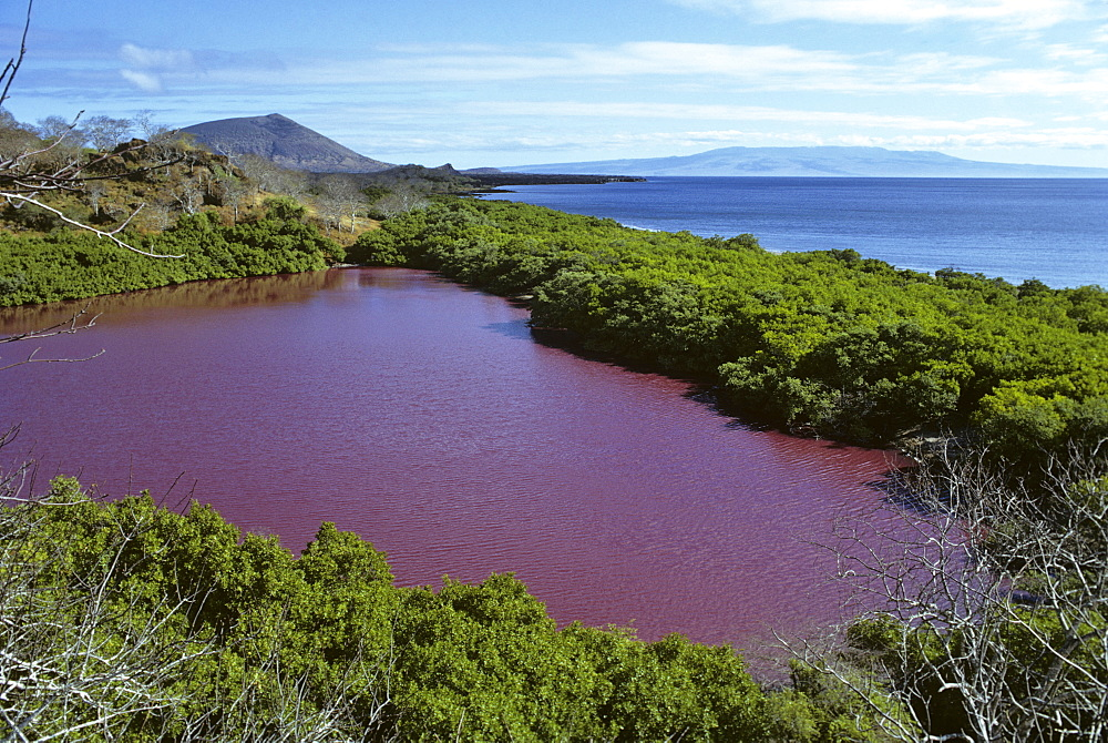 Red algal bloom in coastal lagoon. Playa Espumilla, Santiago Island, Galapagos, Ecuador