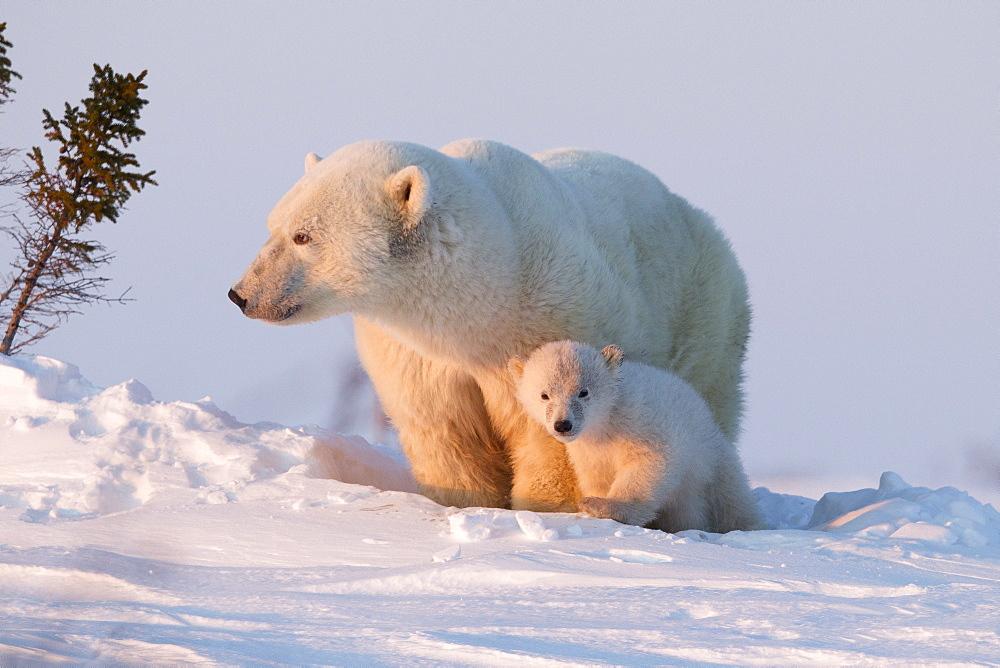 Polar bear (Ursus maritimus) and cub, Wapusk National Park, Churchill, Hudson Bay, Manitoba, Canada, North America  - 938-10