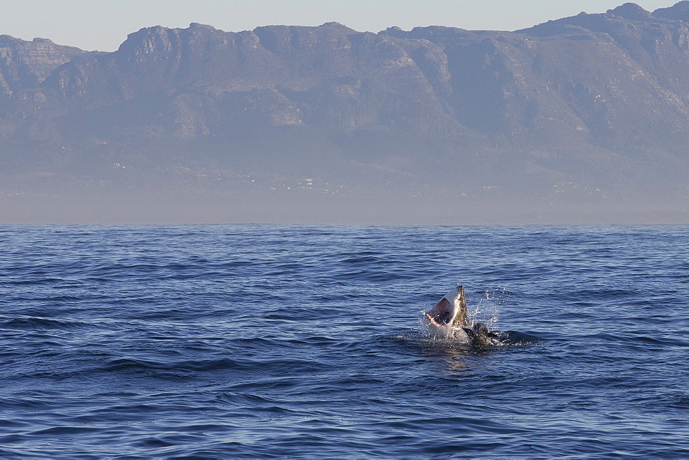 Great white shark (Carcharodon carcharias), Seal Island, False Bay, Simonstown, Western Cape, South Africa, Africa - 938-105
