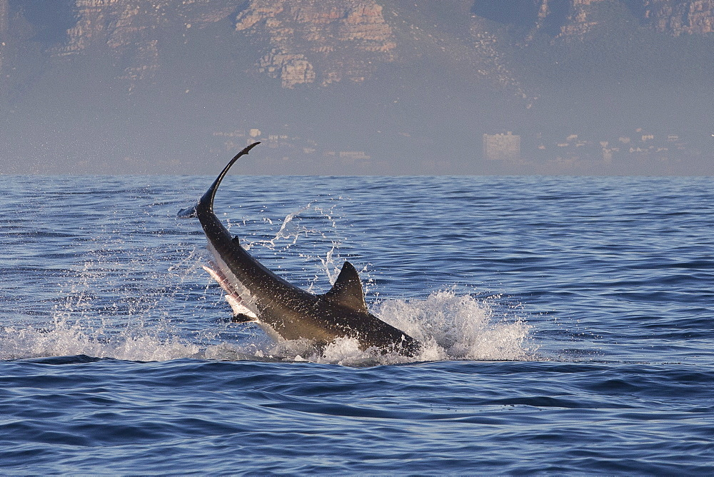 Great white shark (Carcharodon carcharias), Seal Island, False Bay, Simonstown, Western Cape, South Africa, Africa - 938-106