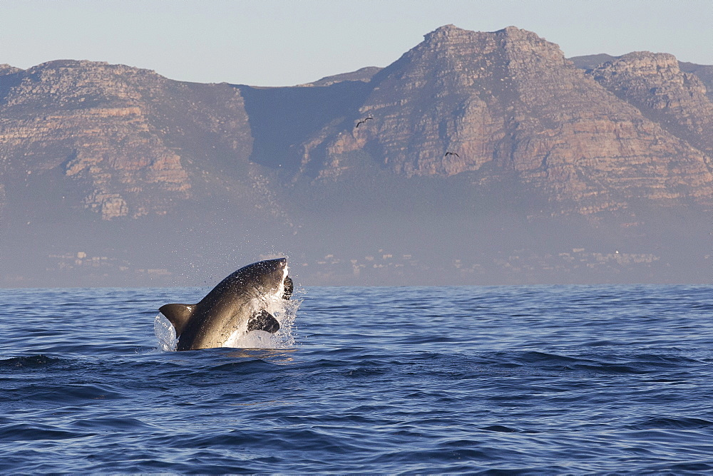 Great white shark (Carcharodon carcharias), Seal Island, False Bay, Simonstown, Western Cape, South Africa, Africa - 938-107