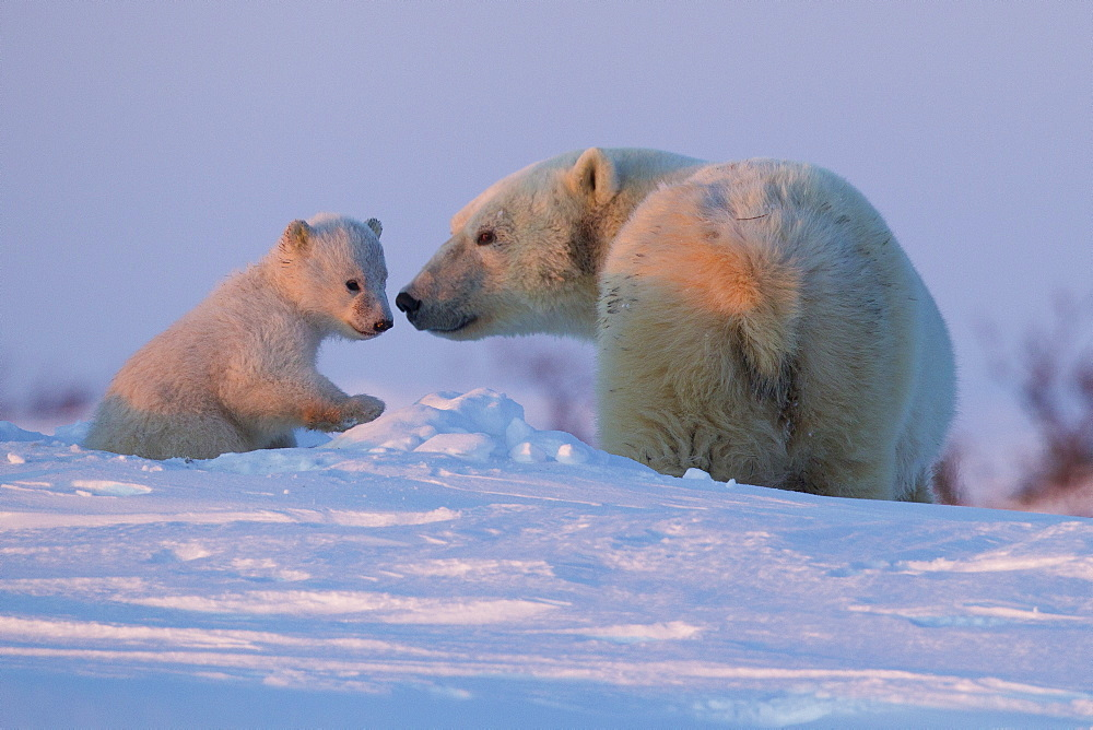 Polar bear (Ursus maritimus) and cub, Wapusk National Park, Churchill, Hudson Bay, Manitoba, Canada, North America  - 938-12