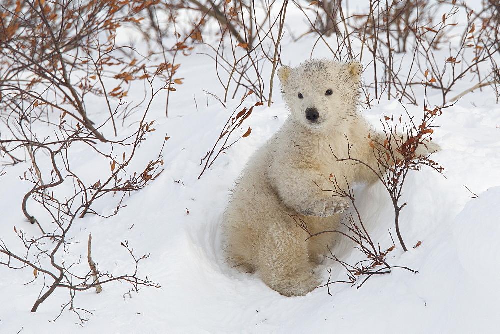 Polar bear cub (Ursus maritimus), Wapusk National Park, Churchill, Hudson Bay, Manitoba, Canada, North America  - 938-20