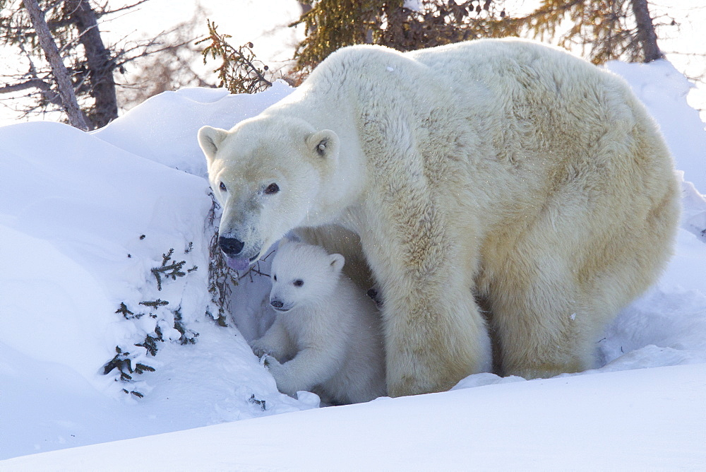 Polar bear (Ursus maritimus) and cubs, Wapusk National Park, Churchill, Hudson Bay, Manitoba, Canada, North America  - 938-22