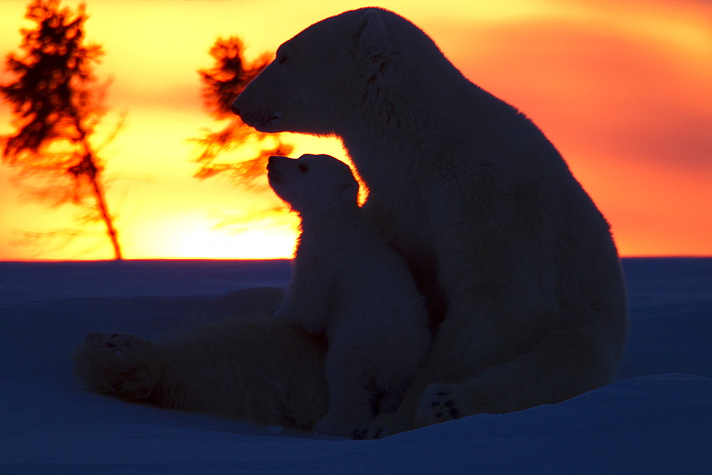 Polar bear (Ursus maritimus) and cub, Wapusk National Park, Churchill, Hudson Bay, Manitoba, Canada, North America  - 938-25