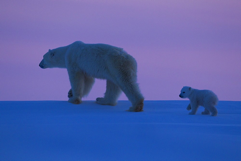 Polar bear (Ursus maritimus) and cub, Wapusk National Park, Churchill, Hudson Bay, Manitoba, Canada, North America  - 938-27