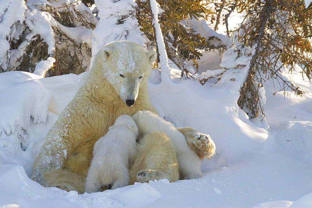 Polar bear (Ursus maritimus) and cubs, Wapusk National Park, Churchill, Hudson Bay, Manitoba, Canada, North America  - 938-28