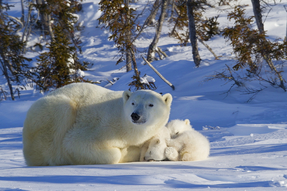 Polar bear (Ursus maritimus) and cubs, Wapusk National Park, Churchill, Hudson Bay, Manitoba, Canada, North America  - 938-29