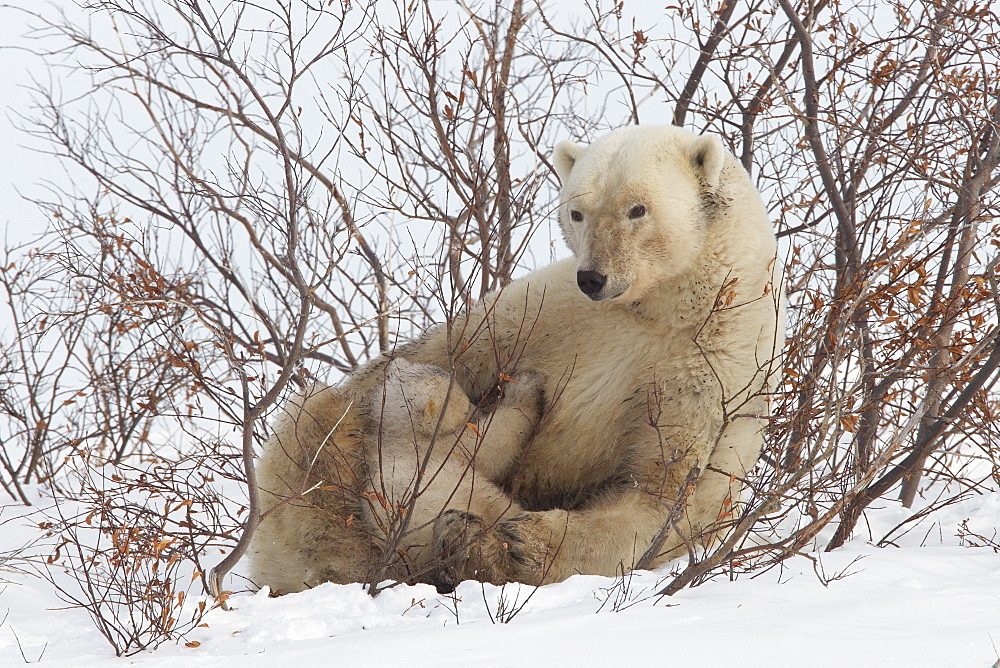 Polar bear nursing cub (Ursus maritimus) , Wapusk National Park, Churchill, Hudson Bay, Manitoba, Canada, North America