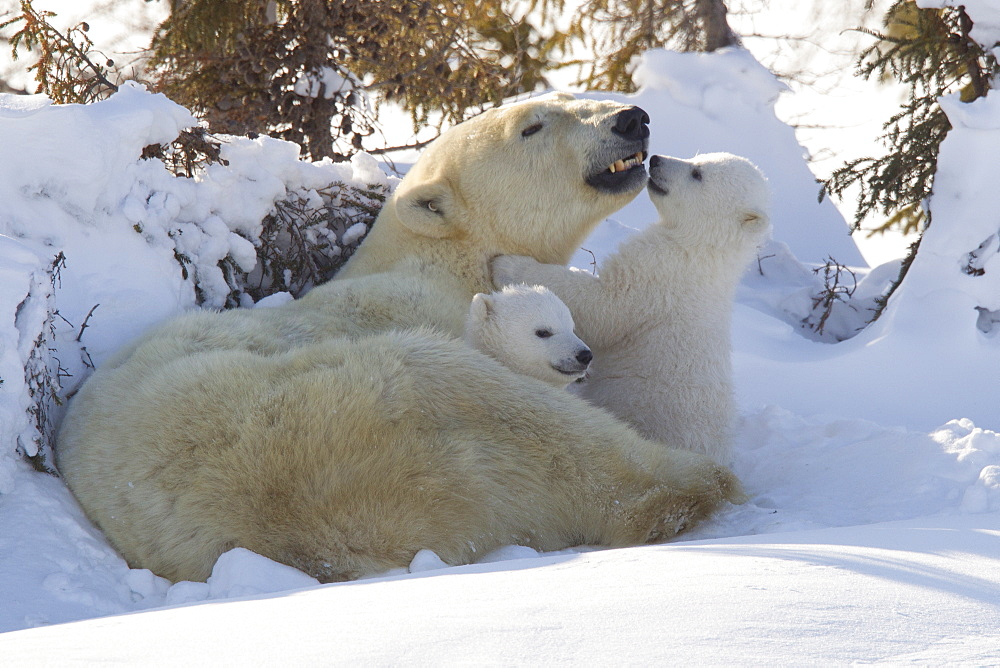 Polar bear (Ursus maritimus) and cubs, Wapusk National Park, Churchill, Hudson Bay, Manitoba, Canada, North America