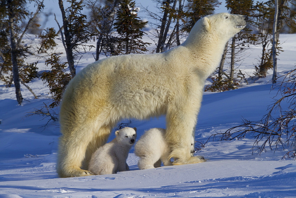 Polar bear (Ursus maritimus) and cubs, Wapusk National Park, Churchill, Hudson Bay, Manitoba, Canada, North America  - 938-31