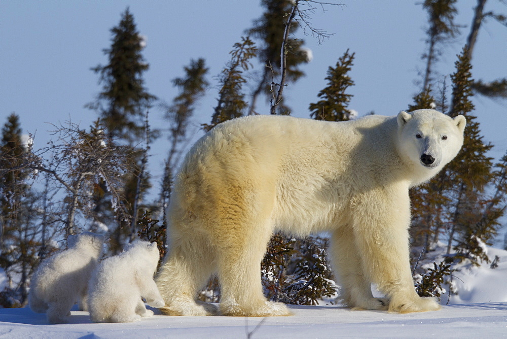 Polar bear (Ursus maritimus) and cubs, Wapusk National Park, Churchill, Hudson Bay, Manitoba, Canada, North America  - 938-32