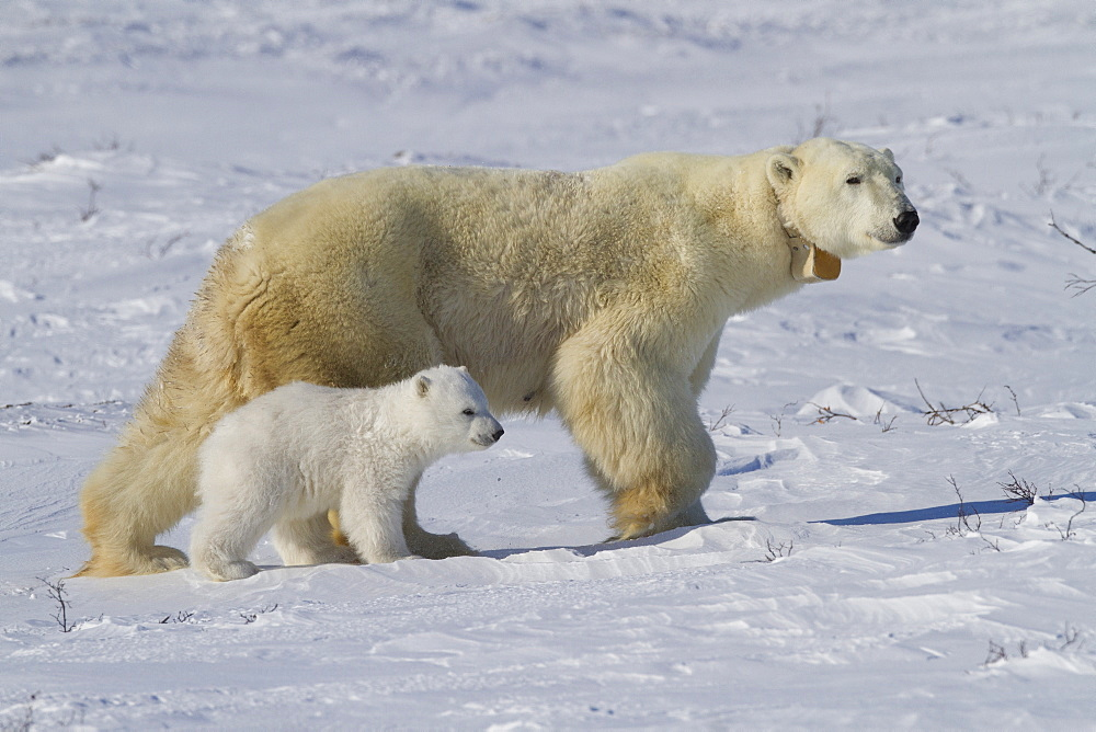 Polar bear (Ursus maritimus) and cub, Wapusk National park, Churchill, Hudson bay, Manitoba, Canada, North America - 938-33