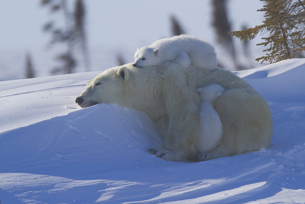 Polar bear (Ursus maritimus) and cubs, Wapusk National Park, Churchill, Hudson Bay, Manitoba, Canada, North America  - 938-34