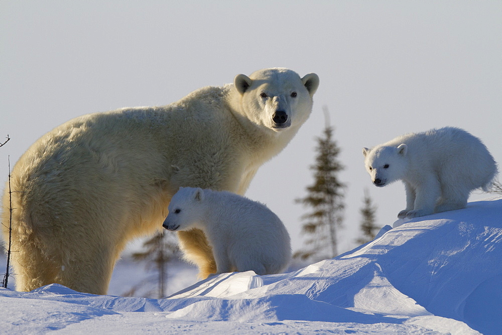 Polar bear (Ursus maritimus) and cubs, Wapusk National Park, Churchill, Hudson Bay, Manitoba, Canada, North America  - 938-35
