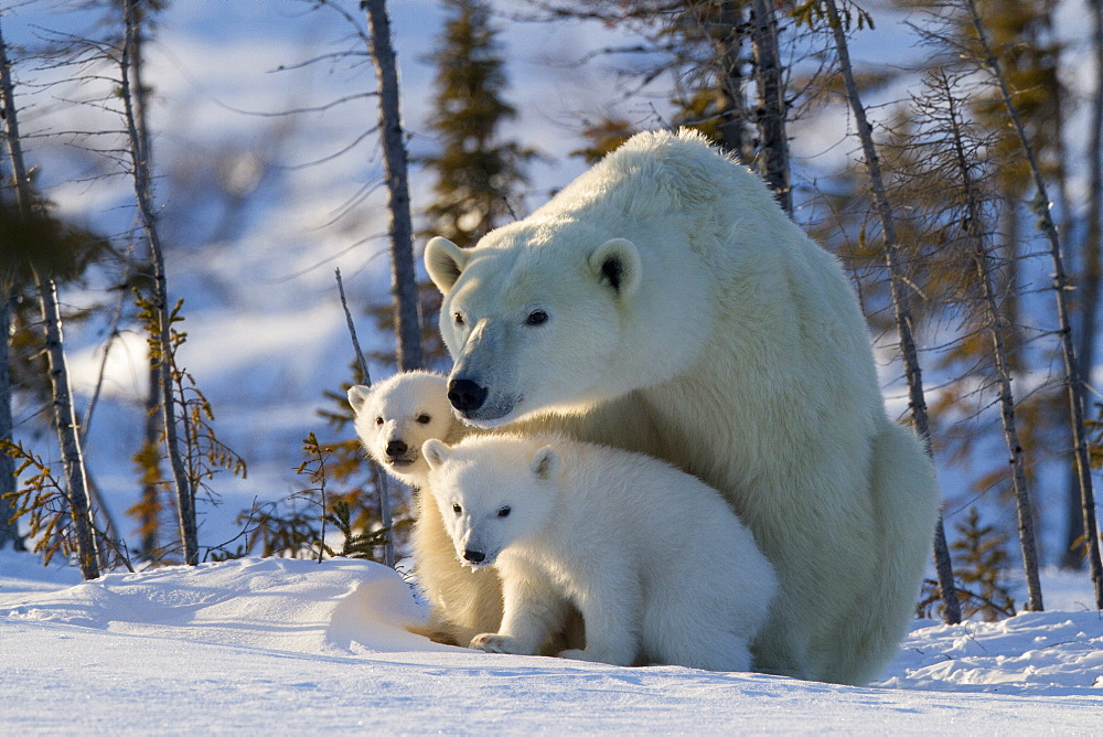 Polar bear (Ursus maritimus) and cubs, Wapusk National Park, Churchill, Hudson Bay, Manitoba, Canada, North America  - 938-36