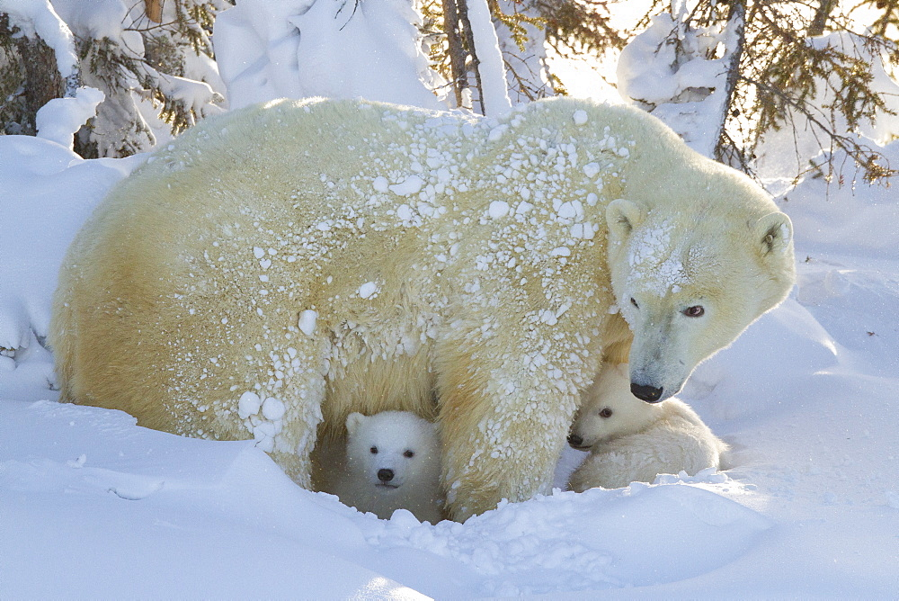 Polar bear (Ursus maritimus) and cubs, Wapusk National Park, Churchill, Hudson Bay, Manitoba, Canada, North America  - 938-37