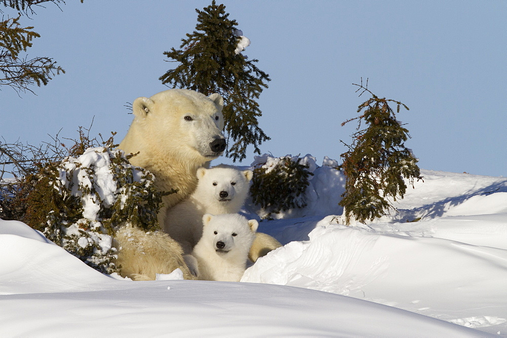 Polar bear (Ursus maritimus) and cubs, Wapusk National Park, Churchill, Hudson Bay, Manitoba, Canada, North America  - 938-38