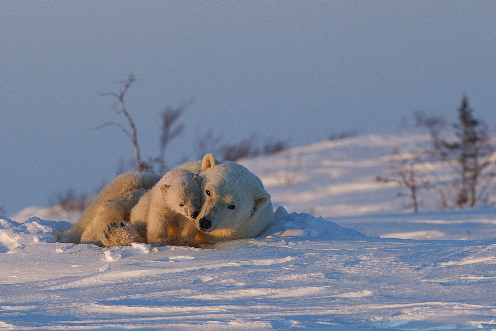 Polar bear (Ursus maritimus) and cub, Wapusk National Park, Churchill, Hudson Bay, Manitoba, Canada, North America