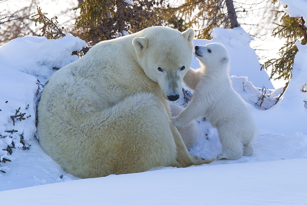 Polar bear (Ursus maritimus) and cubs, Wapusk National Park, Churchill, Hudson Bay, Manitoba, Canada, North America - 938-40