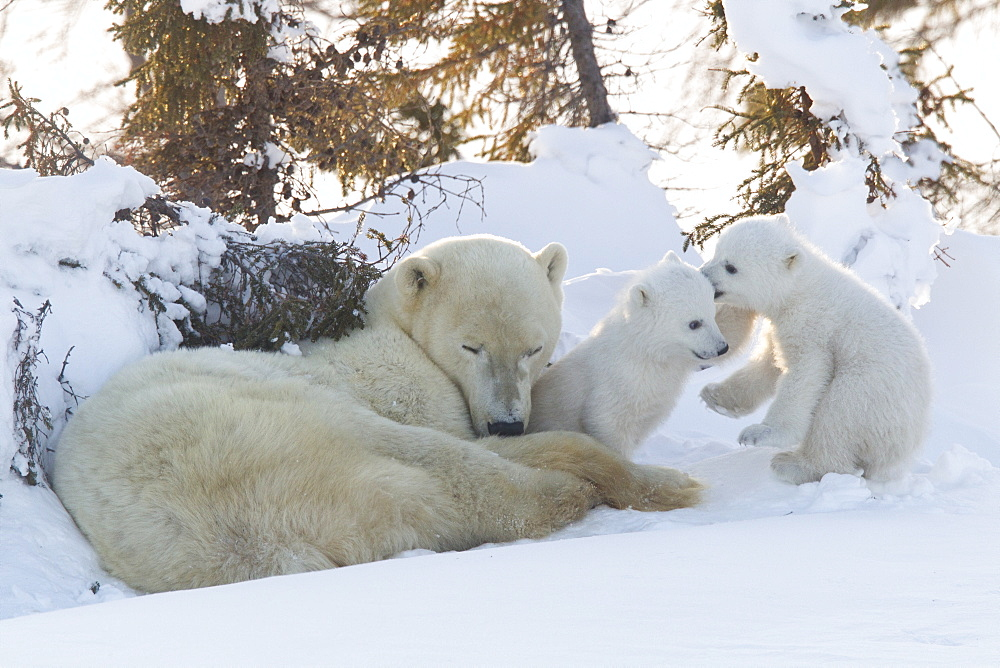 Polar bear (Ursus maritimus) and cubs, Wapusk National Park, Churchill, Hudson Bay, Manitoba, Canada, North America - 938-41