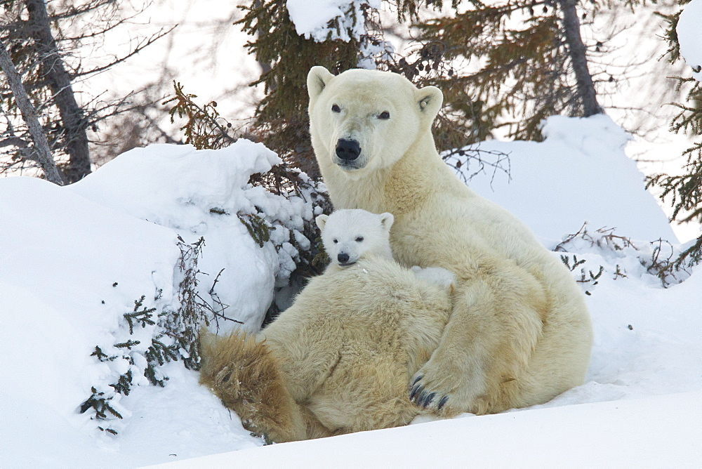 Polar bear (Ursus maritimus) and cubs, Wapusk National Park, Churchill, Hudson Bay, Manitoba, Canada, North America - 938-42