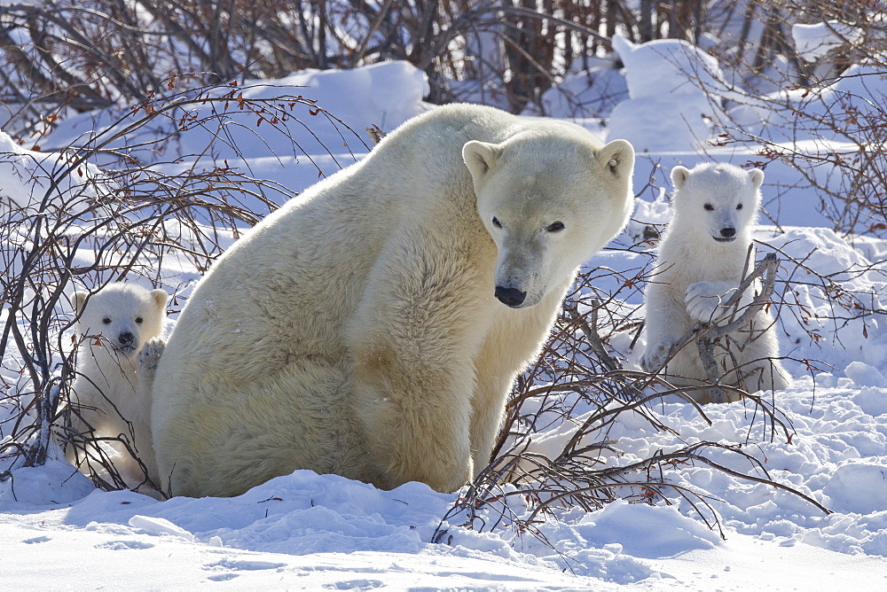 Polar bear (Ursus maritimus) and cubs, Wapusk National Park, Churchill, Hudson Bay, Manitoba, Canada, North America - 938-43