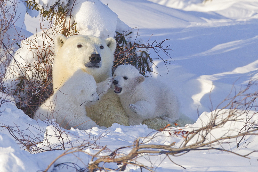 Polar bear (Ursus maritimus) and cubs, Wapusk National Park, Churchill, Hudson Bay, Manitoba, Canada, North America - 938-44