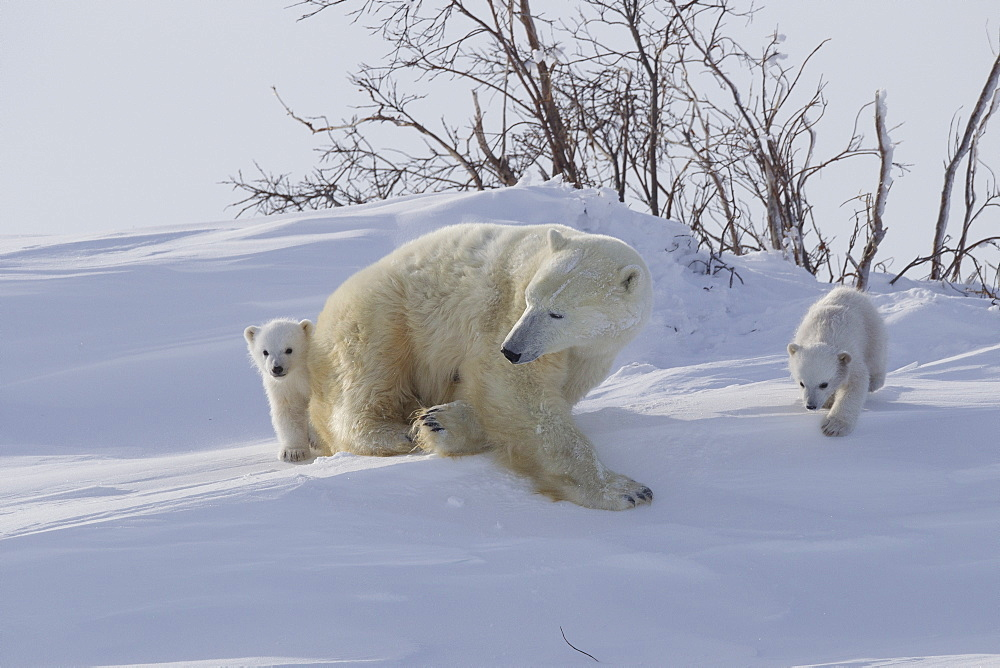 Polar bear (Ursus maritimus) and cubs, Wapusk National Park, Churchill, Hudson Bay, Manitoba, Canada, North America - 938-47