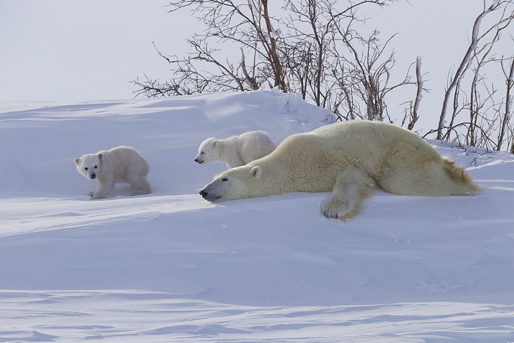 Polar bear (Ursus maritimus) and cubs, Wapusk National Park, Churchill, Hudson Bay, Manitoba, Canada, North America - 938-48