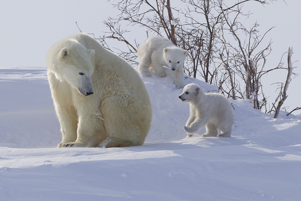 Polar bear (Ursus maritimus) and cubs, Wapusk National Park, Churchill, Hudson Bay, Manitoba, Canada, North America - 938-50