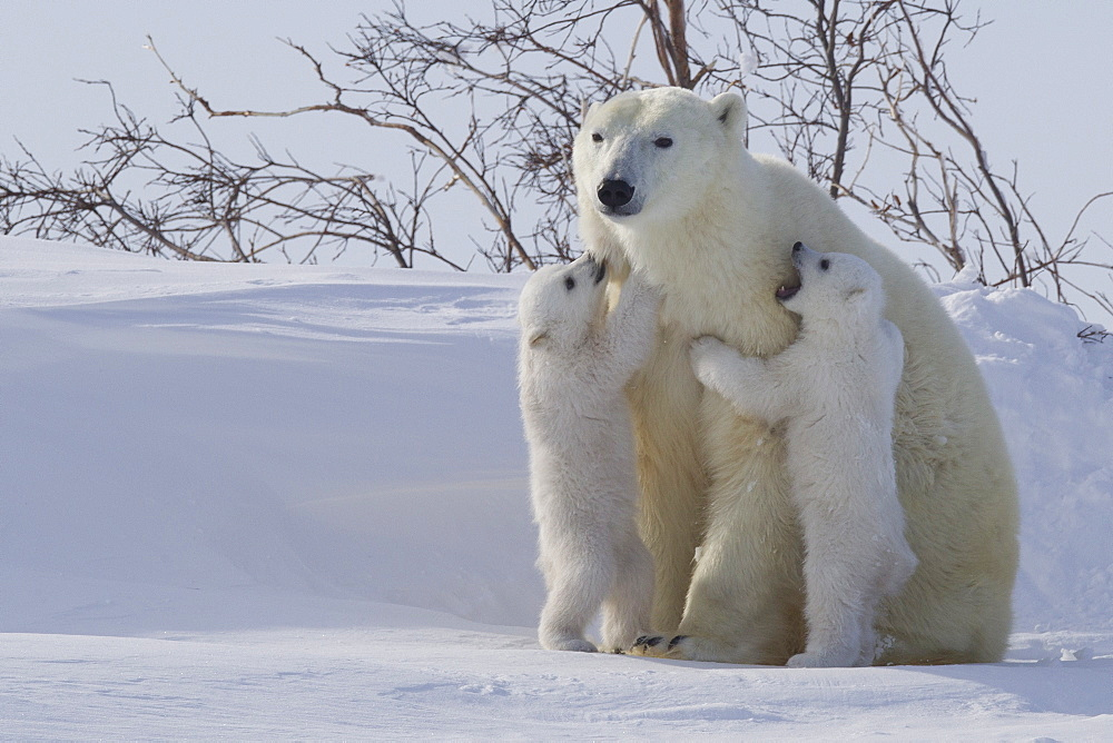 Polar bear (Ursus maritimus) and cubs, Wapusk National Park, Churchill, Hudson Bay, Manitoba, Canada, North America - 938-52