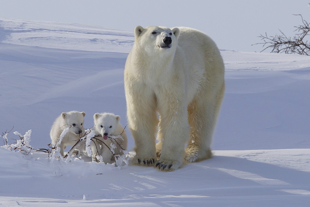 Polar bear (Ursus maritimus) and cubs, Wapusk National Park, Churchill, Hudson Bay, Manitoba, Canada, North America - 938-53