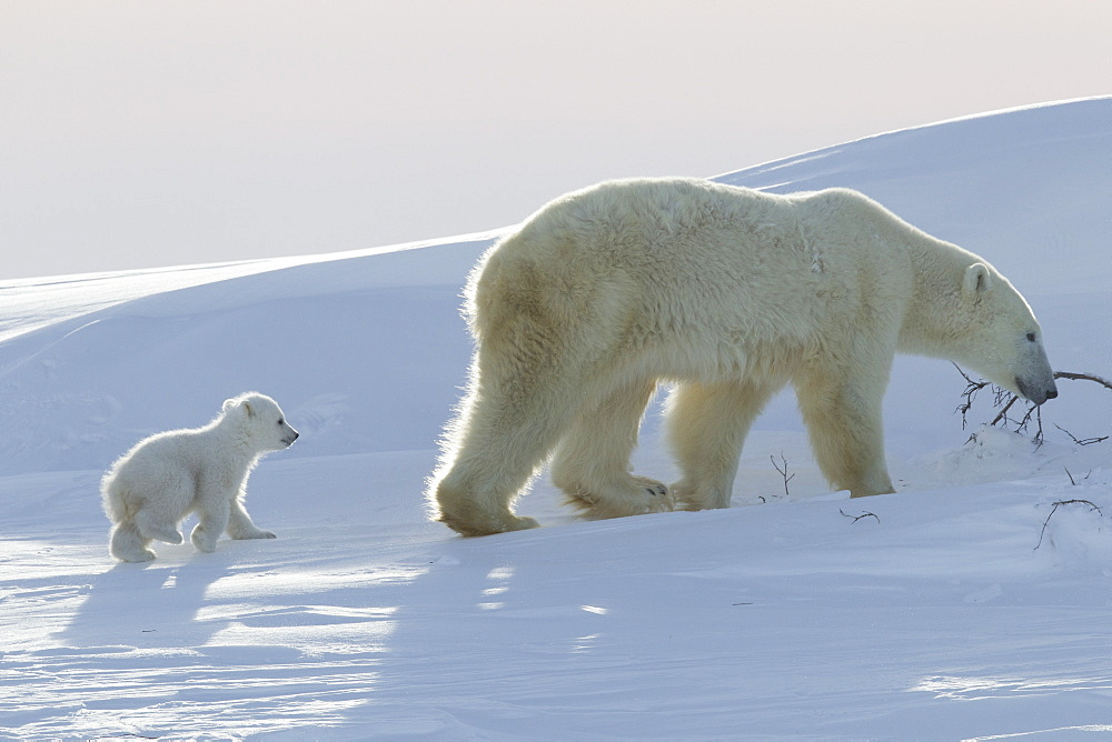 Polar bear (Ursus maritimus) and cubs, Wapusk National Park, Churchill, Hudson Bay, Manitoba, Canada, North America - 938-55