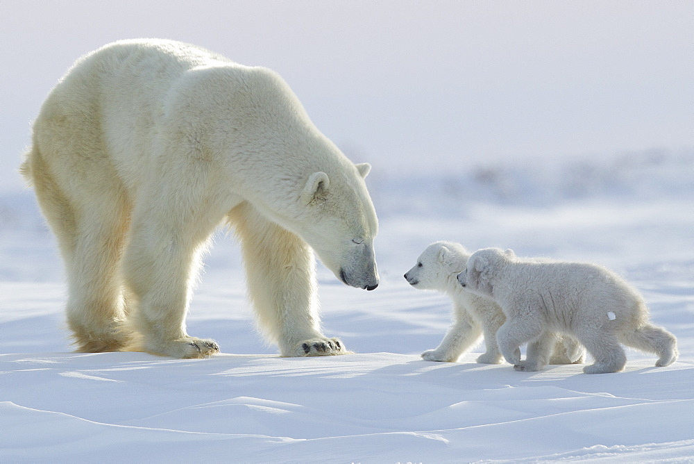 Polar bear (Ursus maritimus) and cubs, Wapusk National Park, Churchill, Hudson Bay, Manitoba, Canada, North America - 938-56